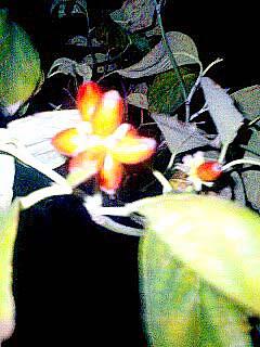 夜の花水木