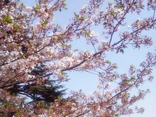 東京の最後の桜