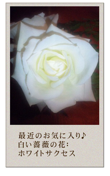 白い薔薇 ホワイトサクセス